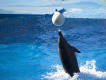 Solo delfín que juega con la bola en agua fotos de archivo