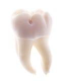 Solo diente aislado en blanco Foto de archivo