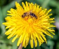 Solo diente de león con la abeja cubierta por el polen Fotografía de archivo libre de regalías