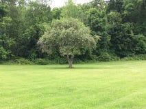 solo drzewo obrazy stock