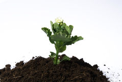 Solo e flor Imagem de Stock Royalty Free