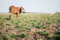 Solo e vaca áridos Imagem de Stock Royalty Free