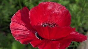 Solo ed unrepeatable Colore attraente, luminoso, rosso stock footage