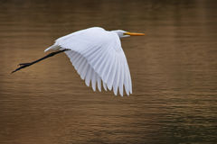 Solo Egret in Flight Royalty Free Stock Images