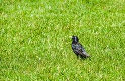 Solo estornino en la hierba verde que mira a la izquierda Foto de archivo
