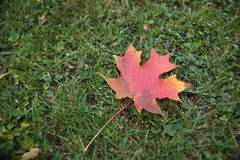 Solo Fall Leaf. A red maple leaf lays quietly on cool fall grass royalty free stock images