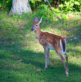 Solo fawn Royalty Free Stock Photos