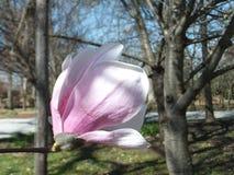 Solo fiore rosa-chiaro della magnolia fotografie stock