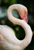 Solo flamenco blanco del parque zoológico fotografía de archivo