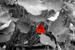 Solo flor anaranjado de la capuchina Imagenes de archivo