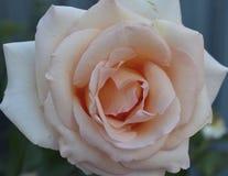 Solo flor color de rosa aislada brote floral p blanco de la boda de los pétalos de la flora de la planta del jardín del verde del Fotografía de archivo