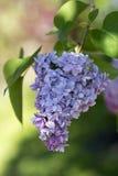 Solo flor de la lila Fotografía de archivo libre de regalías