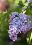Solo flor de la lila Fotos de archivo libres de regalías