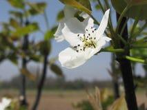 Solo flor de un peral en primavera Toscana, Italia Imágenes de archivo libres de regalías