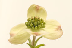 Solo flor del cornejo Imagen de archivo