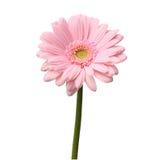 Solo gerbera rosado Imagen de archivo libre de regalías