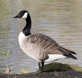 Solo Goose. Goose standing next to the water Royalty Free Stock Photo