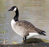 Solo Goose Royalty Free Stock Photo
