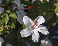 Solo hibisco de un arnottianus hawaiano blanco más salvaje del hibisco con los estambres rosados Fotografía de archivo