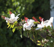 Solo hibisco de un arnottianus hawaiano blanco más salvaje del hibisco con los estambres rosados Imagen de archivo