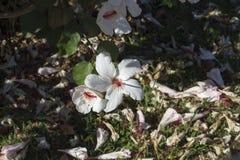 Solo hibisco de un arnottianus hawaiano blanco más salvaje del hibisco con los estambres rosados Fotos de archivo