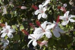Solo hibisco de un arnottianus hawaiano blanco más salvaje del hibisco con los estambres rosados Fotos de archivo libres de regalías