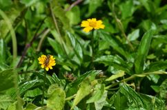 Solo Honey Bee sorbe el néctar de un pequeño wildflower amarillo en Krabi, Tailandia Fotografía de archivo