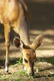 Solo impala rojo Imagen de archivo