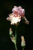 Solo iris Foto de archivo libre de regalías