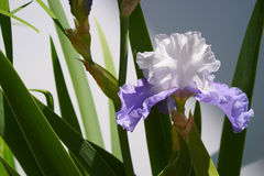 Solo iris barbudo púrpura y blanco - horizontal fotos de archivo