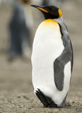 Solo King Penguin. A lone adult King Penguin resting with his feet up - South Georgia stock photography