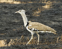 Solo Kori Bustard en área de la protección de Ngorongoro imágenes de archivo libres de regalías