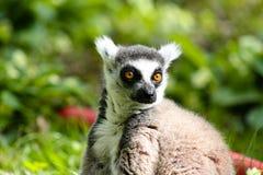 Solo lémur Fotos de archivo
