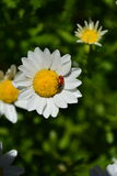Solo ladybug crawling across small white daisy Royalty Free Stock Photos