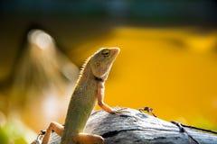 Solo lagarto Fotografía de archivo libre de regalías
