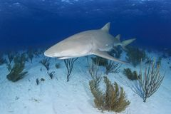 Solo Lemon Shark Swimming over Sandy Ocean Bottom stock images