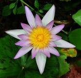 Solo loto rosado Imagen de archivo