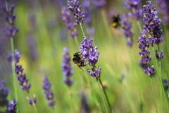 Solo manosee la abeja en la flor de la lila en verano Imagen de archivo libre de regalías