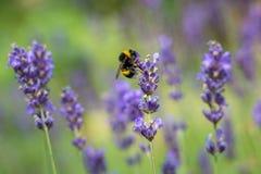 Solo manosee la abeja en la flor de la lila en verano Fotos de archivo libres de regalías