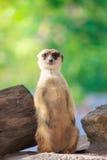Solo Meerkat Imagen de archivo