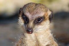 Solo meerkat de mirada divertido Fotografía de archivo
