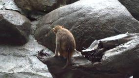 Solo mono que se sienta en roca media El mono triste se sienta con la parte posterior giró la roca solamente en día lluvioso Faun almacen de metraje de vídeo