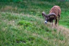 Solo mouflon (orientalis del aries del Ovis) Fotografía de archivo libre de regalías