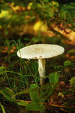 Solo Mushroom. A white mushroom in the autumn royalty free stock photography