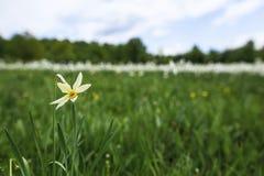 Solo narciso que florece en primavera fotografía de archivo libre de regalías
