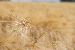 Solo oído del cierre de oro del trigo para arriba foto de archivo libre de regalías