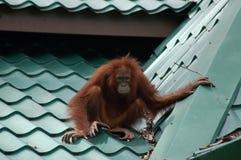 Solo orangután en el tejado tejado Imagenes de archivo