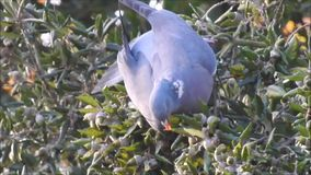 Solo pájaro británico de la paloma de madera que forrajea para la comida almacen de metraje de vídeo