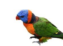 Solo pájaro de Lorikeet Imágenes de archivo libres de regalías