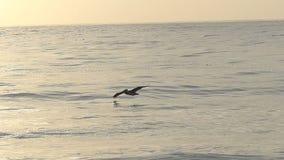 Solo pájaro del pelícano que vuela sobre el océano en la cámara lenta metrajes